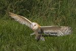 Barn owl with wings spread preparing to land.