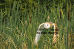 Barn owl flying low over cattails with wings down.
