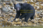 Black bear turning rocks on a rocky beach looking for food.
