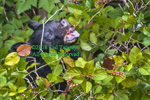 Black bear eating berries with an open mouth and a view of the tongue and teeth.
