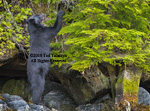 Black bear stretches and reaches for berries.