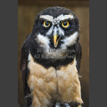 spectaculed owl hooting